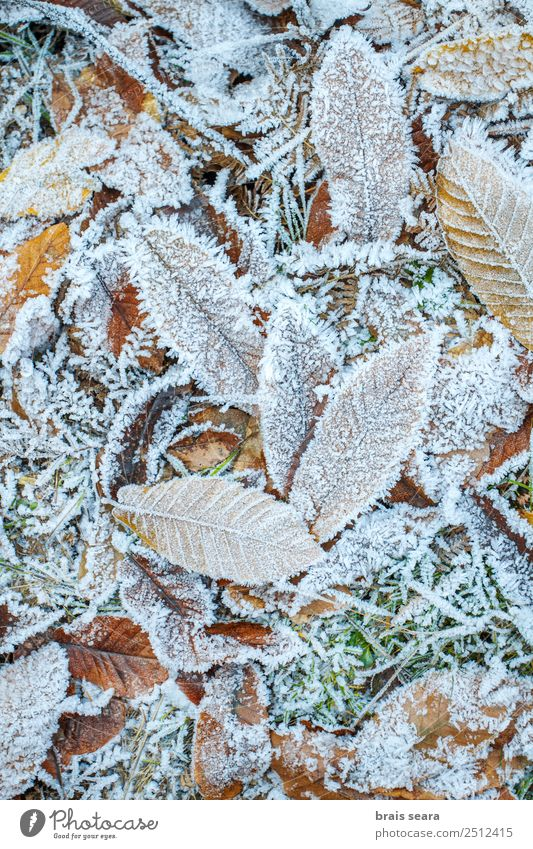 Frost leaves. Nature White Tree Leaf Winter Forest Environment Autumn Cold Snow Earth Ice Weather Europe Adventure Climate