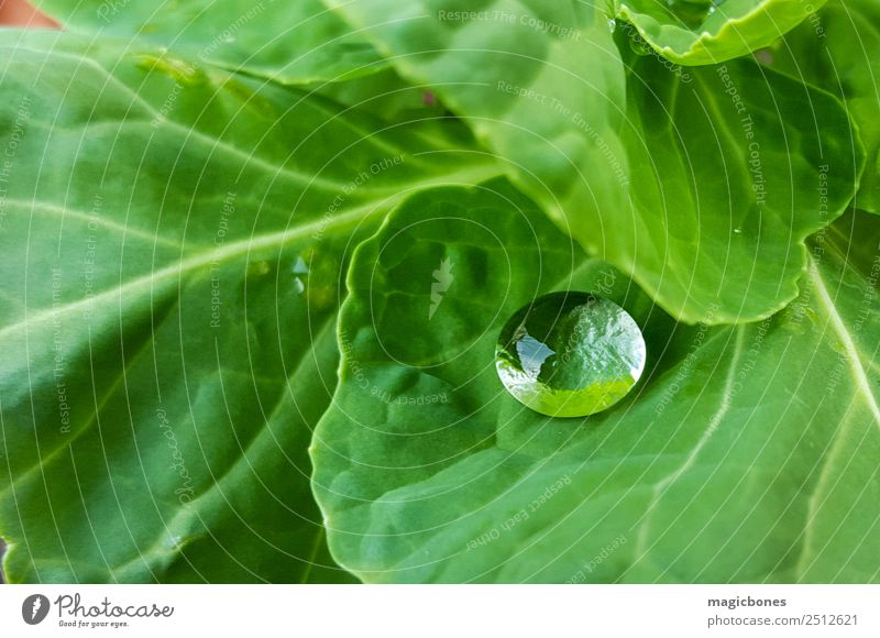 Water Droplet on Green Leaf Nature Plant Drops of water Simple raindrop wet cabbage Cabbage leaves Garden Close-up Colour photo Exterior shot Deserted Day