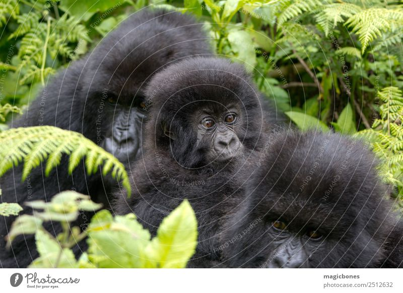 Three Gorillas Nature Youth (Young adults) Mountain Family & Relations Group Sit Living thing Africa Mammal Virgin forest Monkeys Apes Herbivore