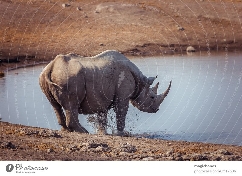 Black Rhino, Namibia Drinking Playing Tourism Safari Nature Landscape Animal Park Wild animal 1 Gray Rhinoceros endangered black rhino Watering Hole african