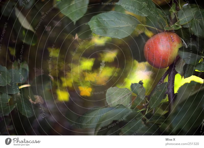 Butterfly Bokeh II Food Fruit Apple Nutrition Nature Tree Leaf Flock Exceptional Delicious Sweet Red Blur Apple tree Branch Twigs and branches Sea of light