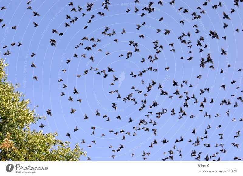 breakup Cloudless sky Animal Bird Flock Flying Many Traveling Assembly Migratory bird Starling Flee Colour photo Multicoloured Exterior shot Pattern Deserted