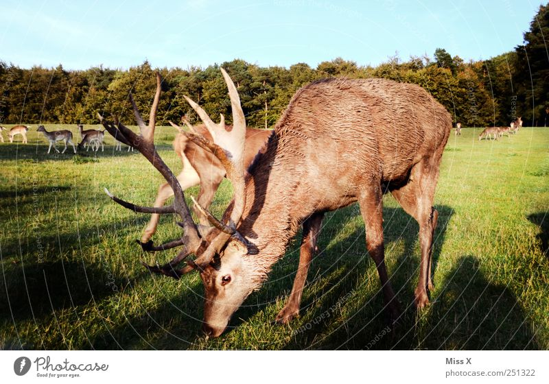 Sunset Deer Grass Meadow Animal Wild animal Group of animals Herd Large Antlers To feed Colour photo Exterior shot Dawn Evening Twilight Sunlight