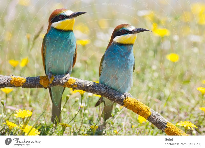 colorful bird Freedom Beach Garden Nature Animal Bird Bee Feeding Wild Blue Green Red Colour Beak bee-eater bee eater branch breeding bringing Burrow care Cliff