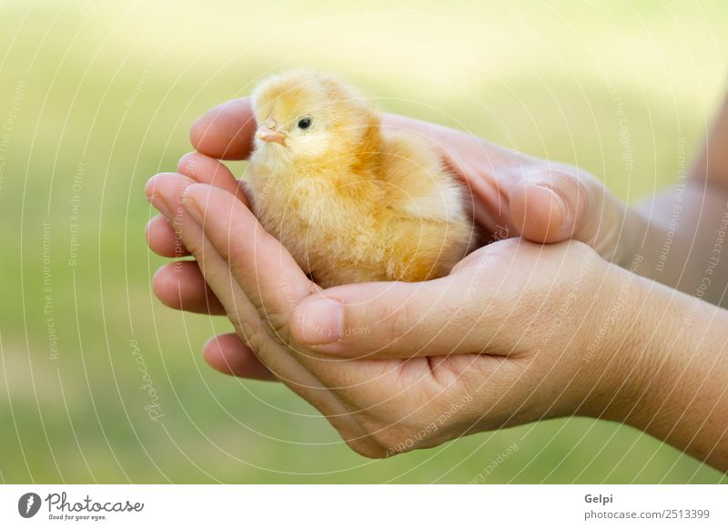 small chicken Baby Woman Adults Man Mother Father Hand Animal Pet Bird Love Cute Soft Yellow Delightful animals background Chick Chicken Domestic ea-egg Eider