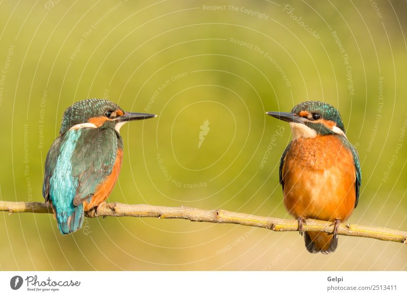 Kingfisher couple on a branch Exotic Beautiful Couple Adults Environment Nature Animal Park Bird Observe Love Natural Wild Blue Green White Colour Beak two
