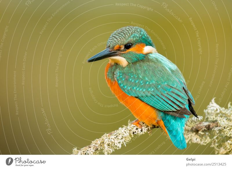 Kingfisher perched on a branch Exotic Beautiful Adults Environment Nature Animal Park Bird Observe Natural Wild Blue Green White Colour Beak Ornithology common
