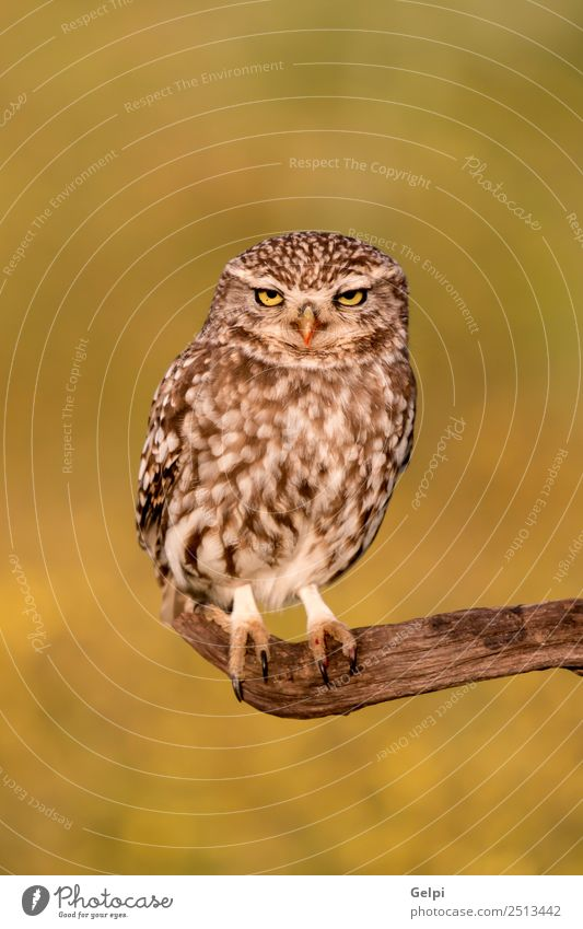 Cute ow Beautiful Nature Animal Forest Bird Wing Small Funny Natural Wild Brown Yellow Gold Green Black White wildlife Owl Prey predator sunny branch Hunter