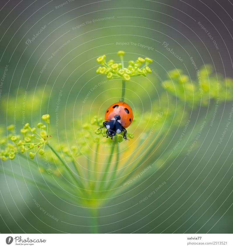 dashes of colour Environment Nature Spring Summer Plant Blossom Agricultural crop Dill blossom Apiaceae Garden Animal Beetle Ladybird Seven-spot ladybird Insect