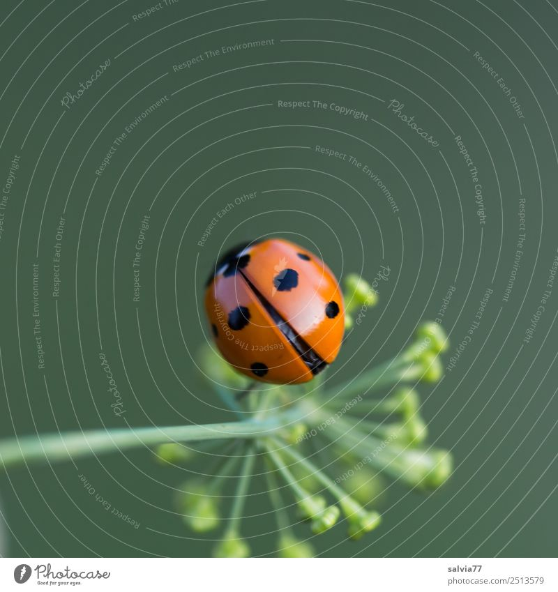 Is he flying or not? Nature Spring Summer Plant Blossom Dill blossom Garden Animal Beetle Wing Insect Ladybird Seven-spot ladybird 1 Crawl Cute Positive Green