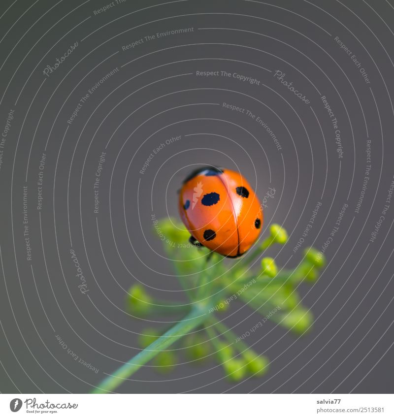 Top Nature Summer Plant Flower Blossom Dill blossom Garden Animal Beetle Ladybird Seven-spot ladybird Insect 1 Crawl Above Spring fever Esthetic Fragrance Happy