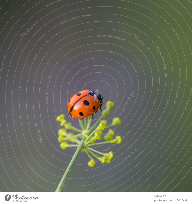 lucky beetle Environment Nature Plant Spring Summer Blossom Dill blossom Garden Animal Beetle Ladybird Seven-spot ladybird Insect 1 Crawl Small Cute Above
