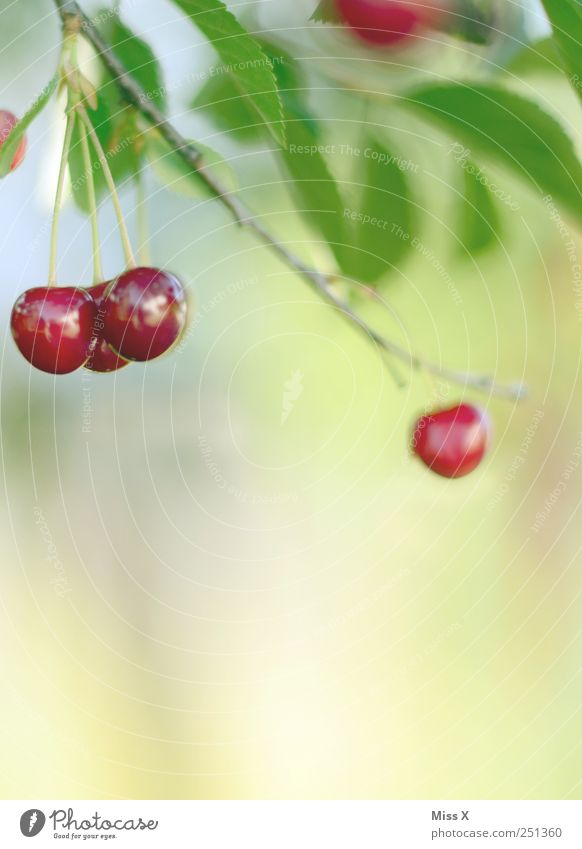 And it was summer Food Fruit Nutrition Organic produce Nature Summer Leaf Garden Hang Growth Small Delicious Round Juicy Sweet Red Cherry Cherry tree Branch