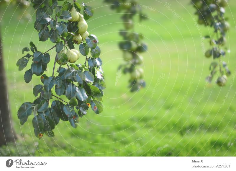 pear Food Fruit Nutrition Organic produce Nature Tree Leaf Garden Hang Growth Delicious Sour Sweet Green Pear Pear tree Many Harvest Branch Twigs and branches