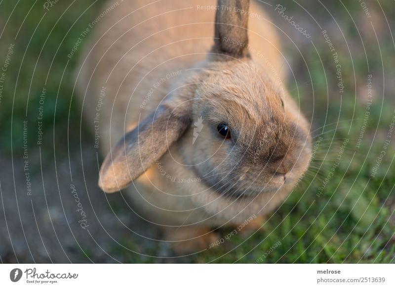 Rabbit with bend ear Summer Beautiful weather Grass Garden Pet Animal face Pelt Paw Hare & Rabbit & Bunny Pygmy rabbit Mammal Rodent Hare ears Snout 1 Observe