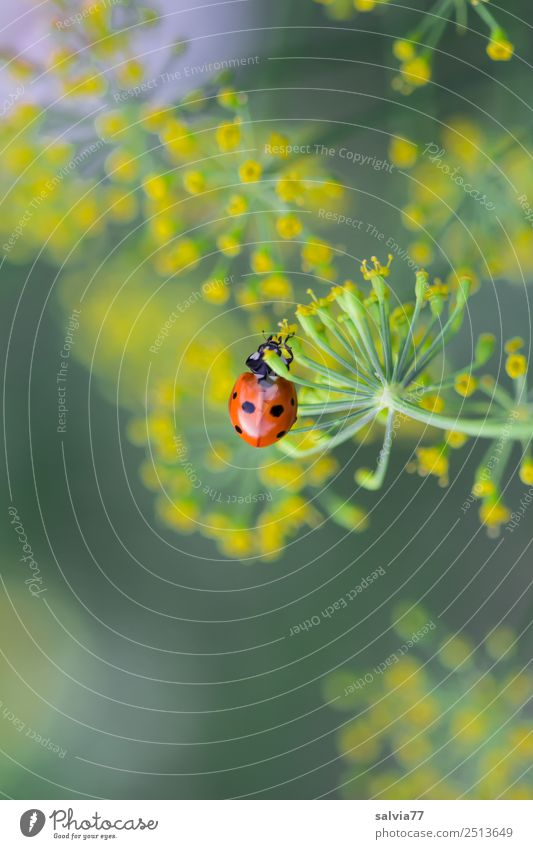 dill blossoms Environment Nature Plant Blossom Agricultural crop Wild plant Apiaceae Dill blossom Garden Animal Beetle Ladybird Insect Seven-spot ladybird 1