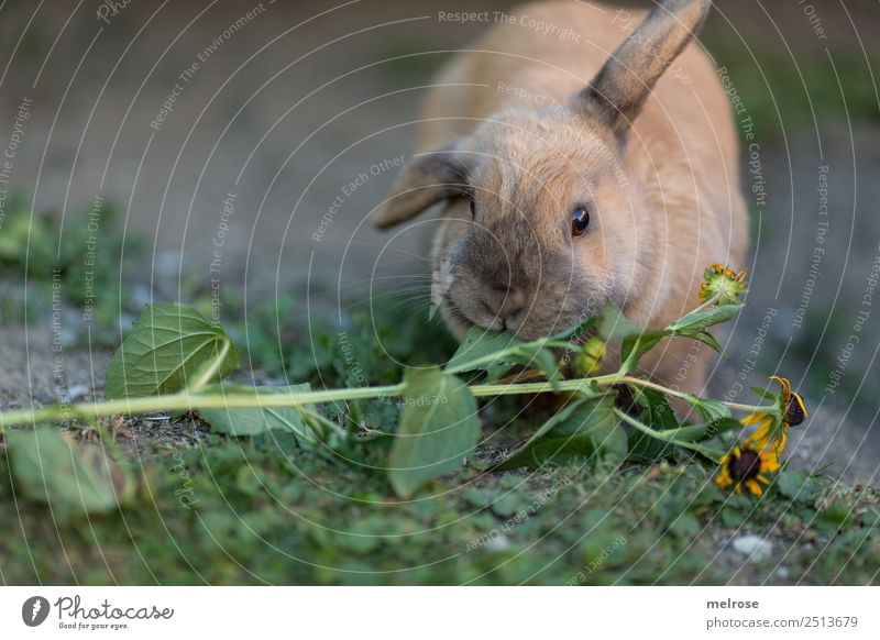 Rabbit eating flowers II Summer Beautiful weather Plant Grass Garden Pet Animal face Pelt Hare ears Hare & Rabbit & Bunny Pygmy rabbit Rodent Mammal Snout 1
