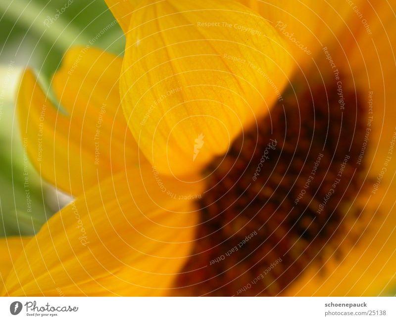 Sun Flower Plant Leaf Yellow Blossom Sunflower Seed