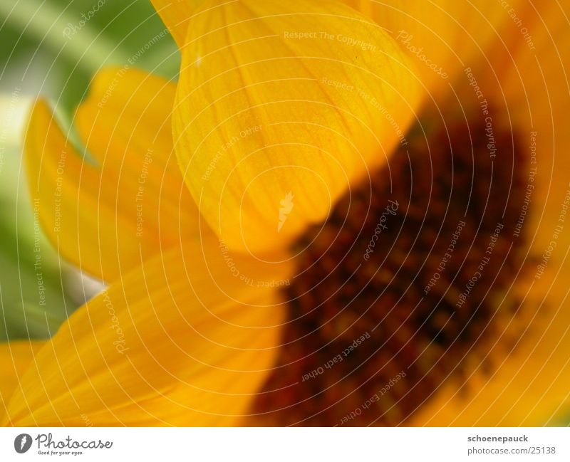 Sunflower (Extreme Closeup) Blossom Plant Yellow Leaf Flower Close-up Seed