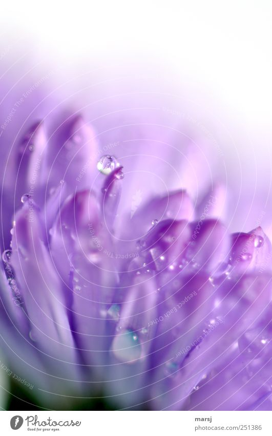 Nature Plant Summer Flower Colour Blossom Wet Glittering Drops of water Violet Blossoming Fragrance Foliage plant Spring fever Wild plant