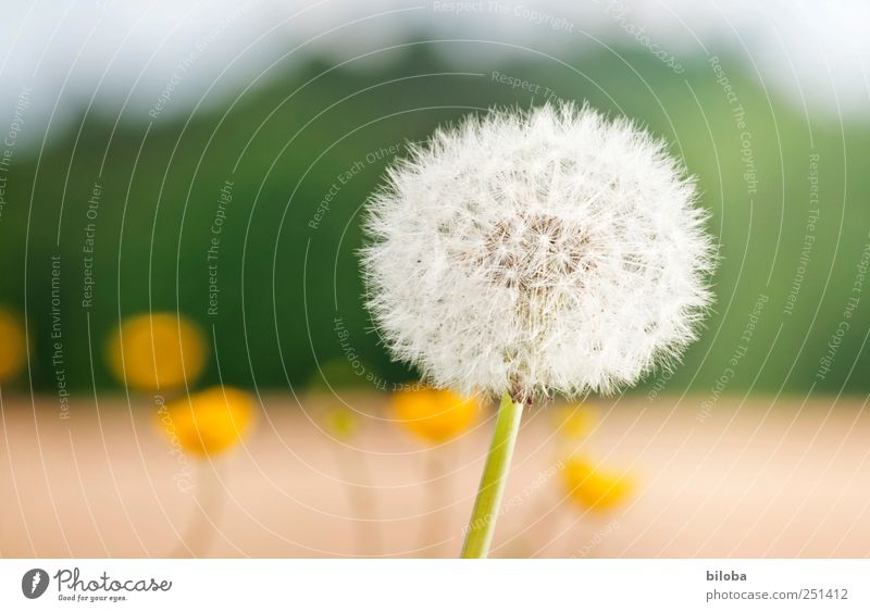 White Green Plant Summer Yellow Dandelion Seed Flower