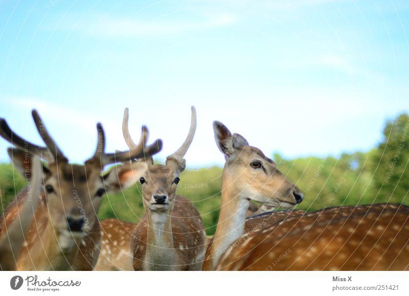 Animal Wild animal Curiosity Antlers Deer Roe deer Herd Even-toed ungulate