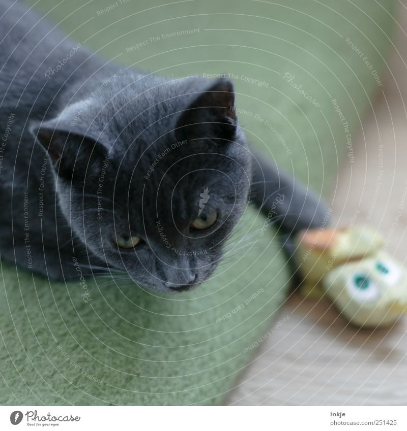 Green Animal Yellow Playing Emotions Gray Moody Cat Lie Animal face To hold on Toys Make Watchfulness Pet Domestic cat
