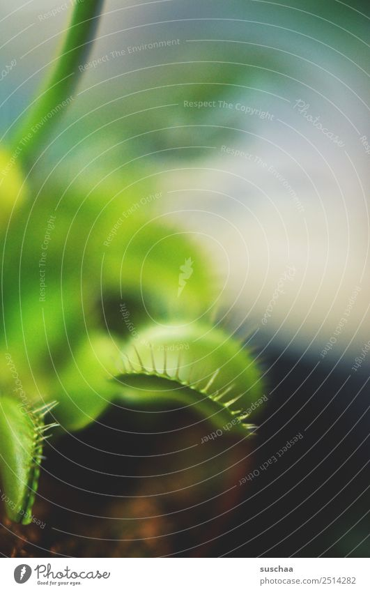 flytrap IV Plant Houseplant Venus' flytrap carnivorous plant no vegetarian Carnivore Fly-eater Flytrap Green Insect destroyer Natural Exotic Botany Nature