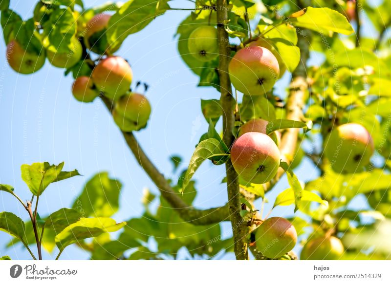 ripe apples on a tree Fruit Apple Summer Nature Sky Tree Healthy Apple tree Mature Green salubriously extension Garden Agriculture fruit growing Blue