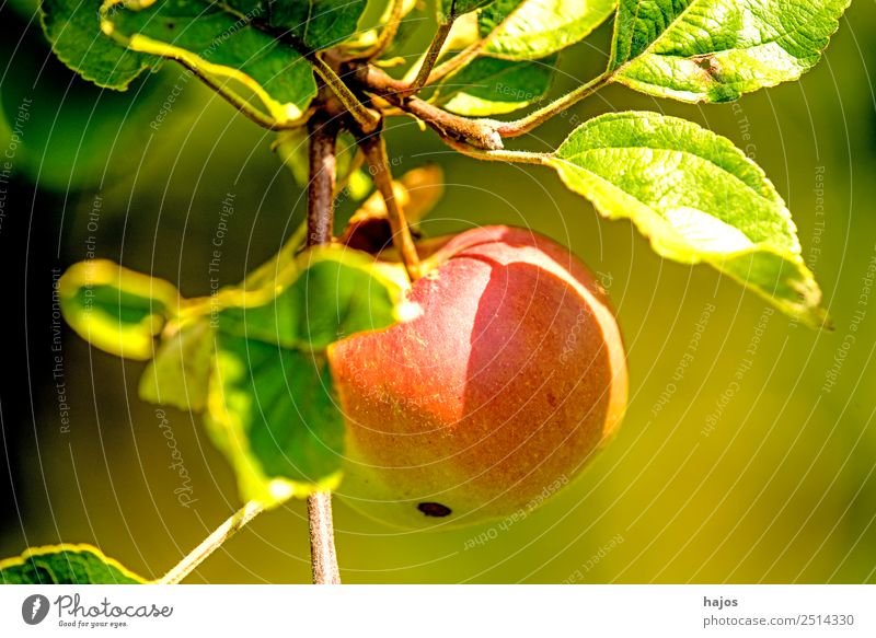 Apple, ripe on the tree Fruit Summer Nature Healthy Mature Red Apple tree Close-up Garden fruit growing Agriculture Eating Snack Nutrition Fiber Colour photo