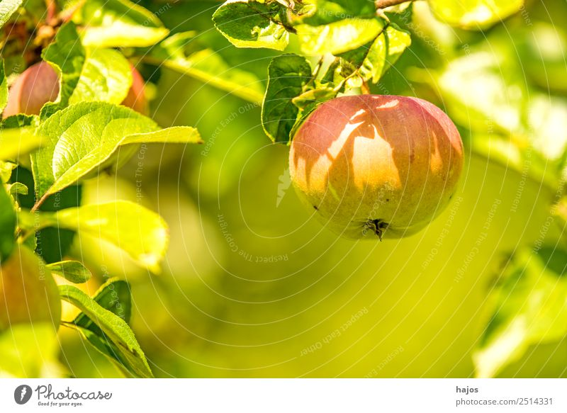 Apple, ripe on the tree Summer Nature Healthy Mature Red Green Apple tree fruit salubriously Vitamin C Garden Eating Healthy Eating Colour photo Exterior shot