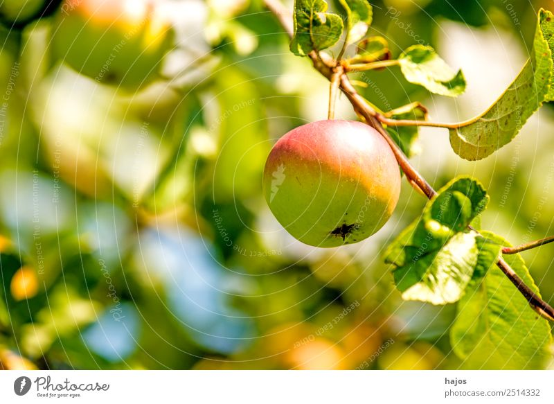 Apple, ripe on the tree Fruit Summer Nature Tree Fresh Mature Apple tree salubriously extension Garden fruit growing Agriculture Product Vitamin C Nutrition