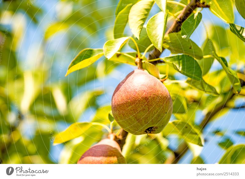 ripe pear on a tree Food Fruit Nature Healthy Pear Pear tree Fruit trees Mature Red Sweet Eating Summer Sowing Agriculture Fuit growing Garden Close-up