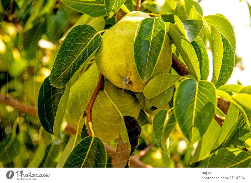 ripe pear on a tree Summer Healthy Pear Pear tree Mature Yellow Fruit trees fruit salubriously Nutrition Sowing Agriculture Fuit growing Vitamin C Colour photo