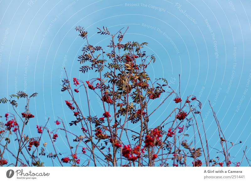 Sky Nature Blue Beautiful Red Plant Environment Nutrition Autumn Weather Glittering Wild Tall Happiness Growth Beautiful weather