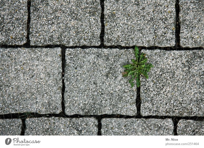 Nature Green Plant Street Life Gray Lanes & trails Wall (barrier) Stone Concrete Growth Blossoming Cobblestones Seam Fight Paving stone