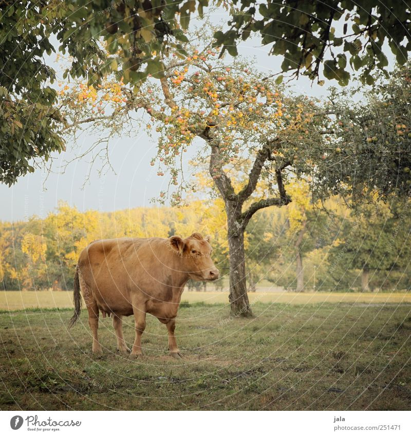 CHAMANSÜLZ | living in the country Agriculture Forestry Environment Nature Landscape Sky Autumn Plant Tree Bushes Meadow Animal Farm animal Cow 1 Natural Blue