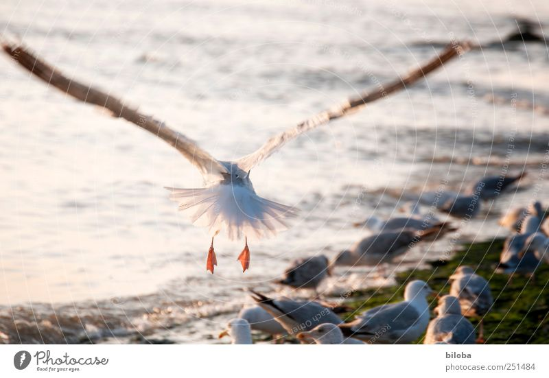 Up and away! North Sea Animal Seagull Gull birds Wing Flying 1 Yellow Silver White Wanderlust Behind Colour photo Exterior shot Deserted Evening Motion blur