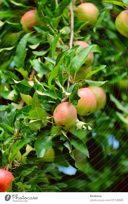 Nature Vacation & Travel Tree Eating Healthy Garden Fruit Bushes Beautiful weather Apple Dessert Gardening Accumulate Agricultural crop Pick Apple tree