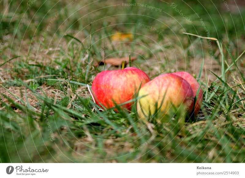 Ripe apples in domestic garden on the floor. Fruit Apple Eating Breakfast Nature Plant Earth Tree Bushes Garden Healthy Apple tree Pick Collection Grass Red