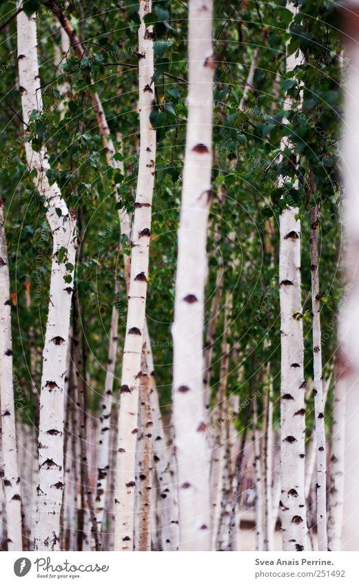 Nature Tree Summer Leaf Environment Park Natural Beautiful weather Birch tree Birch wood Birch leaves Birch avenue Birch bark
