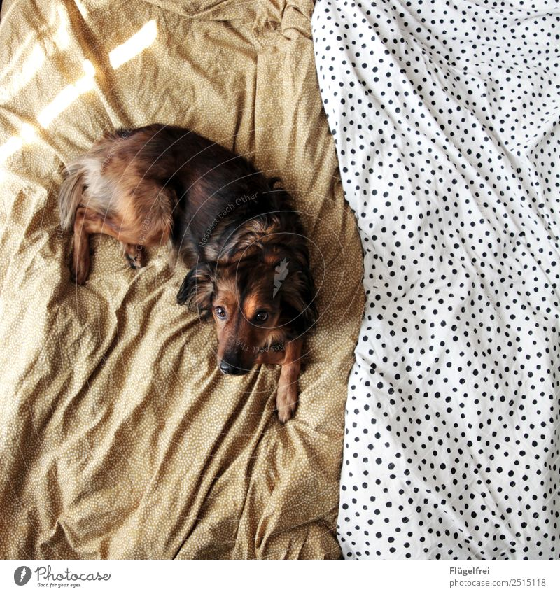Well, breakfast in bed? Animal Dog 1 Lie Bed Bedclothes Crossbreed Relaxation Sleep Bedroom Cozy Sun Sunlight Morning Pet Point Pattern Structures and shapes