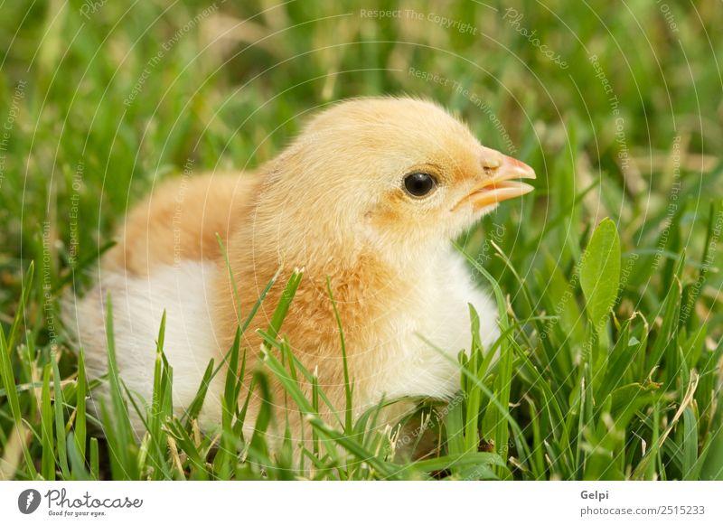 small chicken Life Easter Child School Baby Friendship Animal Warmth Lake Bird Baby animal Small Funny Cute Yellow White avian Beak Beauty Photography big
