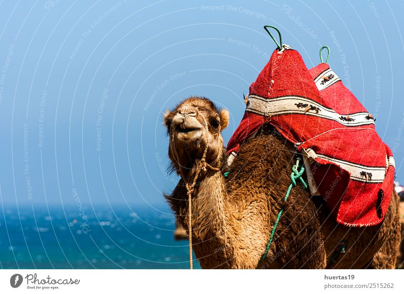 Camel on the sea Ocean Animal Wild animal Colour camel Dromedary Atlantic Ocean animals wild animals Morocco tangier desert Sahara Mammal Africa