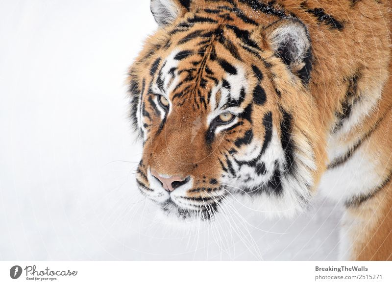 Close up portrait of one young Siberian tiger in white snow Nature Animal Winter Weather Snow Wild animal Cat Animal face 1 Observe Fresh White Tiger Amur Snout