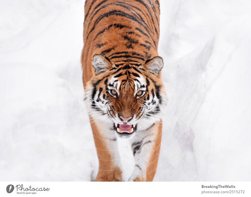 Close up portrait of one young Siberian tiger in white snow Cat Nature White Animal Winter Eyes Snow Wild Head Weather Wild animal Fresh Observe Mammal Zoo