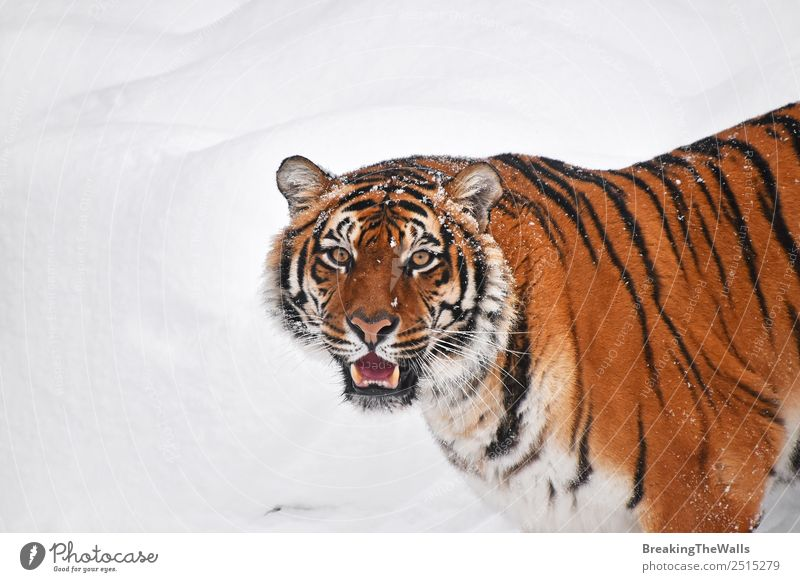 Close up portrait of one young Siberian tiger in snow Cat Nature White Animal Winter Baby animal Eyes Cold Snow Wild Head Weather Open Wild animal Fresh Observe