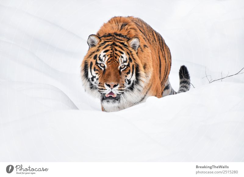 Close up portrait of Siberian tiger walking in white snow Cat Nature White Animal Winter Eyes Cold Snow Wild Head Weather Wild animal Fresh Walking Observe