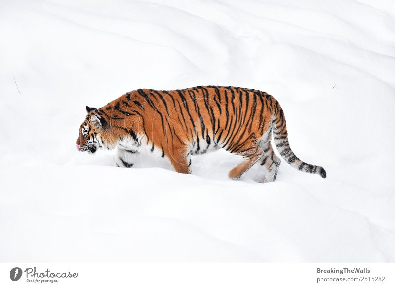 Female Amur (Siberian) tiger walking in fresh white snow Cat Nature White Animal Winter Cold Snow Wild Ice Weather Wild animal Fresh Stand Walking Observe Frost