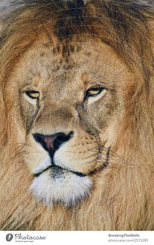 Close up portrait of mature male African lion Nature Animal Wild animal Cat Animal face 1 Lion Snout Mane Panther leo stare wildlife predator Carnivore Mammal